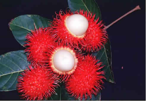http://rsyarifario.files.wordpress.com/2009/01/rambutan.jpg